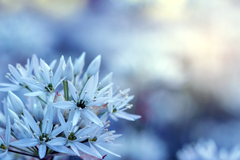 206dca1c11a8c7 Fototapeta delikatne kwiaty czosnku FP 597 - Deco Strefa