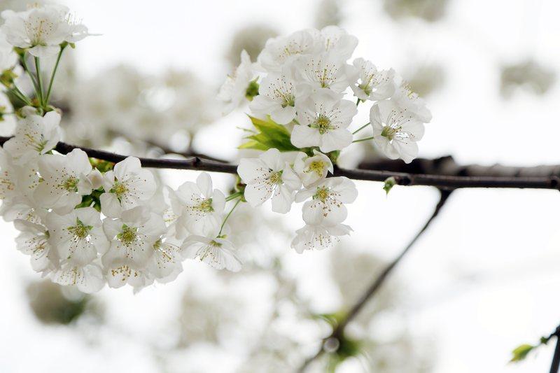 ce84ac29d7ed0c Fototapeta delikatne kwiaty kwitnącej jabłoni FP 697 - Deco Strefa